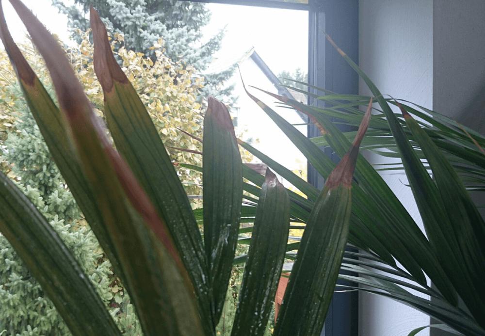 kentia palme bekommt braune bl tter. Black Bedroom Furniture Sets. Home Design Ideas