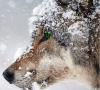 lightwolf