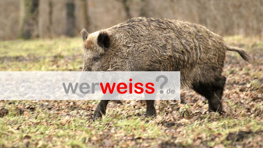Sind Wildschweine gefährlich für Menschen?